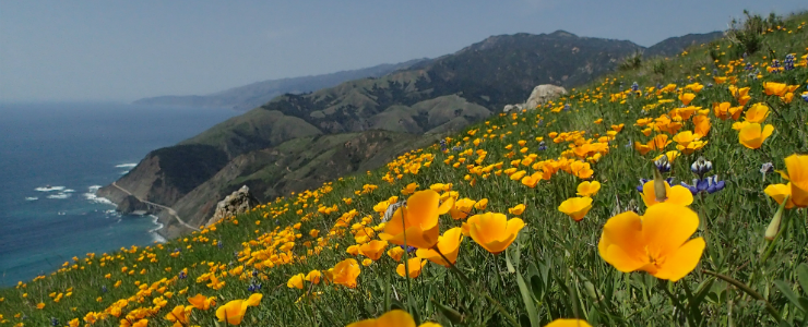 Landscape at Landels-Hill Big Creek Reserve depicting California poppies and the Pacific coast.