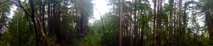 Panoramic image of mixed evergreen forest in the UCSC Campus Natural Reserve