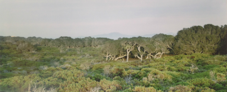 Vista of oaks and maritime chaparral at Fort Ord Natural Reserve.