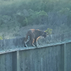 A bobcat gets a better view from a fence at UCSC Younger Lagoon Reserve