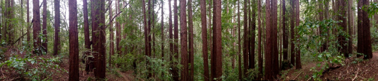 Panorama image of Coast Redwood forest on UCSC Campus Natural Reserve.